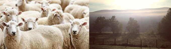 Sheep blog banner copy